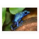 blue poison arrow frog postcard