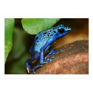 blue poison arrow frog postcard