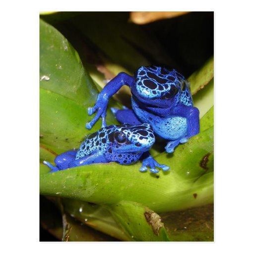 Blue Poison Dart Frogs In Leaf 1 Postcard