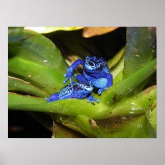 Blue Poison Dart Frogs In Leaf 1 Poster