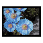 Blue Poppies Poster Prints Poster
