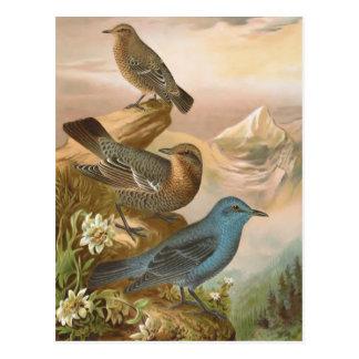 Blue Rock Thrush Postcard