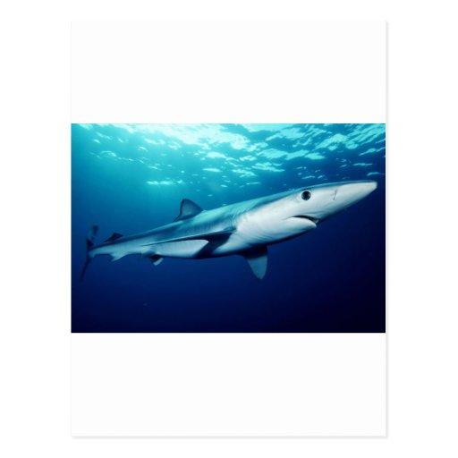 Blue Shark Post Cards
