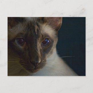 Blue Siamese PostCard postcard