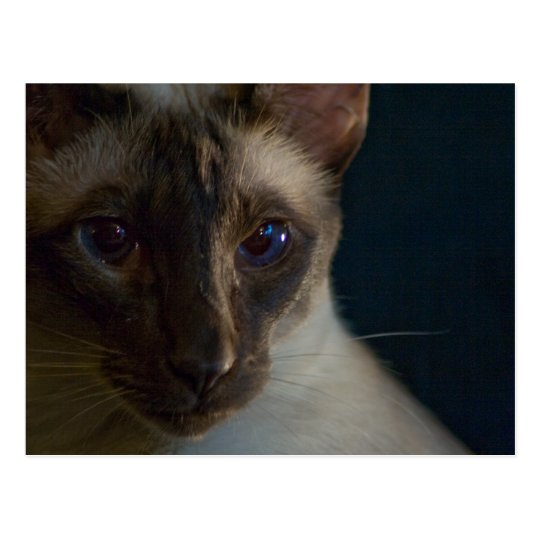 Blue Siamese PostCard