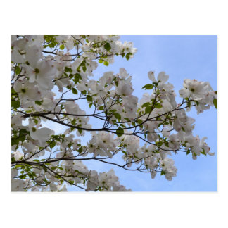 Blue Skies and Dogwood Flowers Postcard