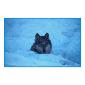 Blue Snow Timber Wolf Print