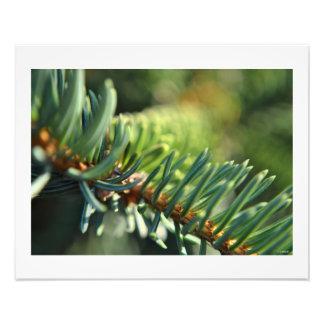 Blue Spruce in the Sun Wall Decor Photo