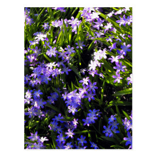 Blue Squill Spring Flowers Postcard