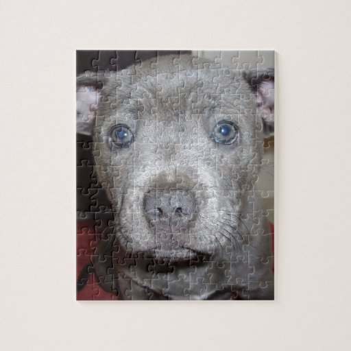 Blue_Staffordshire_Bull_Terrier, _Puppy, Puzzles