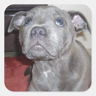 Blue_Staffordshire_Bull_Terrier_Puppy_Sticker. Square Sticker