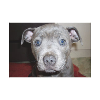 Blue_Staffordshire_Terrier_Puppy,_Wrapped_Canvas Canvas Print
