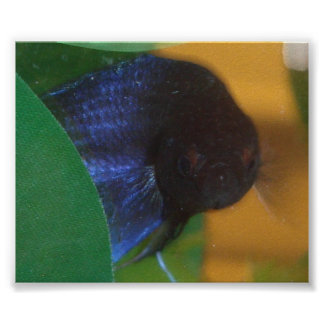 Blue The Maddest Fish In The World Poster
