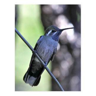 Blue Throated Hummingbird Postcard