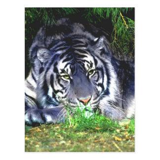 Blue tiger Waiting for love Postcard