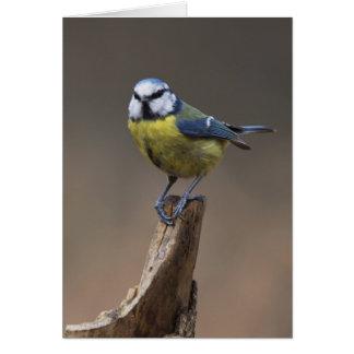 Blue Tit Card