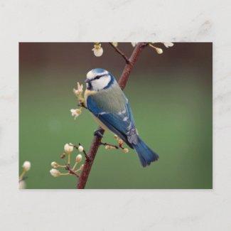 Blue Tit on rainy day postcard postcard