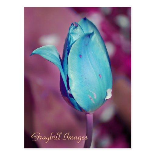Blue Tulip Postcard