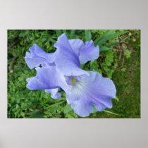 Blue-Violet Iris Poster Print