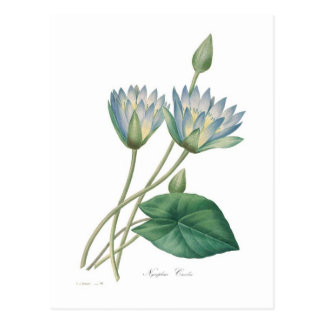 Blue Waterlily Postcard