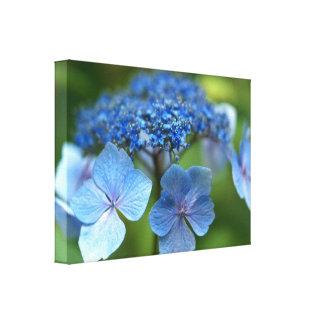 Blue Wave Lacecap Hydrangea Canvas Print