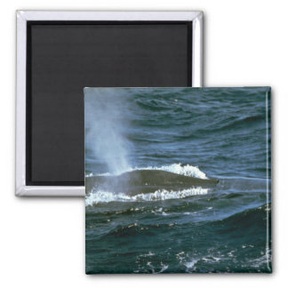 Blue whale 2 inch square magnet