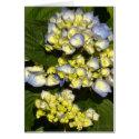 Blue-White Hydrangeas card