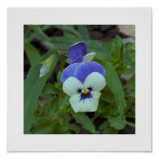 Blue White Pansy Photo Poster