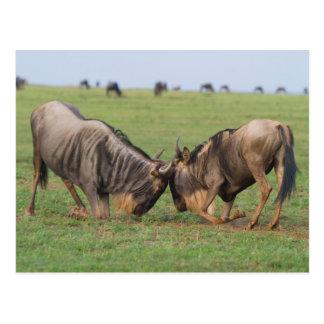 Blue Wildebeest (Connochaetes Taurinus) Rutting Postcard