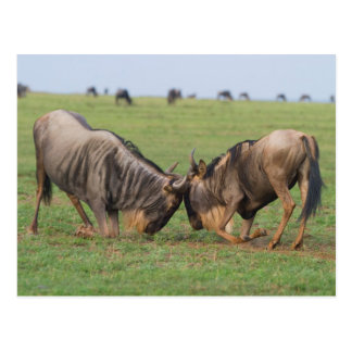 Blue Wildebeest (Connochaetes Taurinus) Rutting Post Cards