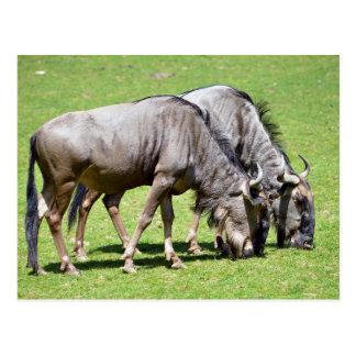 Blue wildebeest feeding postcard