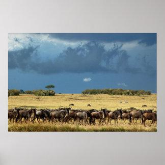 Blue wildebeest (gnu) migration poster, print, pic
