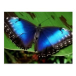 Blue Wing Butterfly Postcard