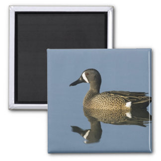 Blue-winged Teal, Anas discors,male, Port Magnet