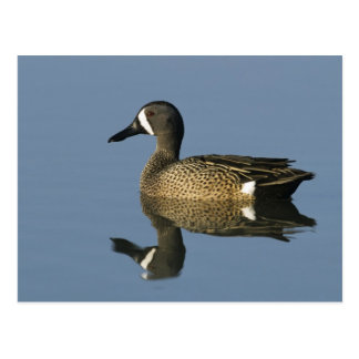 Blue-winged Teal, Anas discors,male, Port Postcard