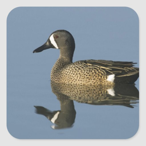 Blue-winged Teal, Anas discors,male, Port Stickers