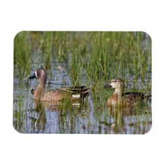 Blue-winged Teal male and female in wetland Magnet