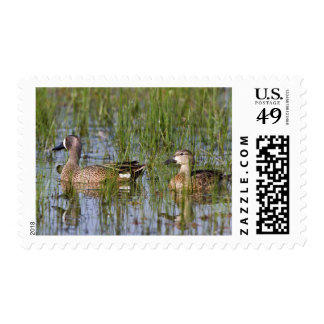 Blue-winged Teal male and female in wetland Postage