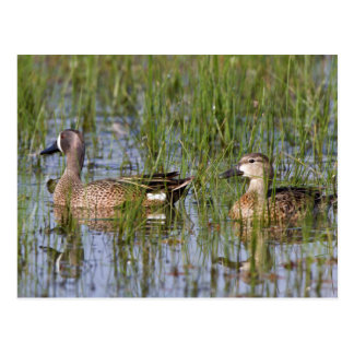 Blue-winged Teal male and female in wetland Postcard
