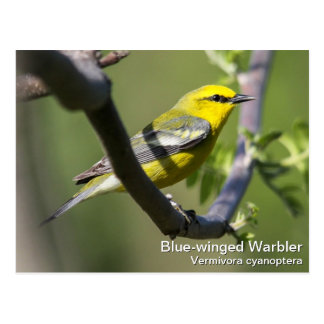 Blue-winged Warbler Postcard