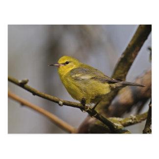 Blue winged Warbler, Vermivora pinus Postcard