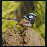 "Blue Wren Napkin<br><div class=""desc"">Male Blue wren or superb Fairy wren on rock in a garden</div>"