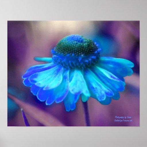 blue zinnia flower photography poster print