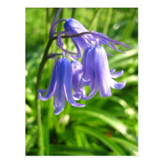 Bluebell flowers - Postcard