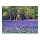 Bluebell Woods, England  flowers Postcards