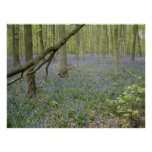 Bluebell Woods Posters