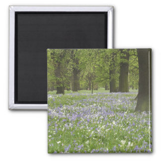 Bluebells and Oak Trees in Spring, Little Hagley 2 Inch Square Magnet