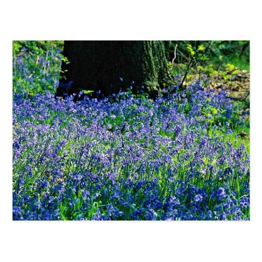 Bluebells, Crackley Wood, Kenilworth, Warks  flowe Post Cards