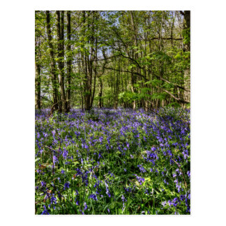 Bluebells Everdon Stubbs Wood Postcard