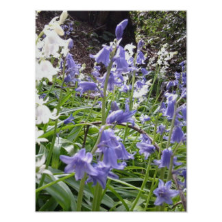 Bluebells in Woodland poster 3